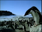 Adelie penguin jumps off boulder edge onto another against blue sky, snow and other penguins in background, Antarctica