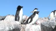 Adelie penguin (Pygoscelis Adeliae) pair in colony display. Brown Bluff, Antarctic Peninsula