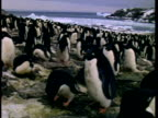 MS Adelie Penguin, Pygoscelis adeliae, on beach, female gathers pebbles for nest, Antarctica