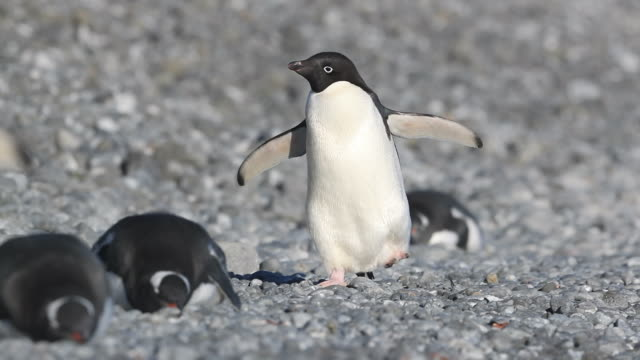 Adelie Penguin walking amongst Gentoo Penguins