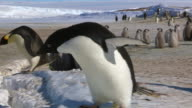 Adelie penguin walks up to camera to appear larger then Emperor penguin in background