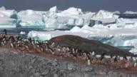 Adelie penguin (Pygoscelis adeliae) wide colony, Antarctica