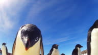 LA CU Adelie penguin with group peers into lens