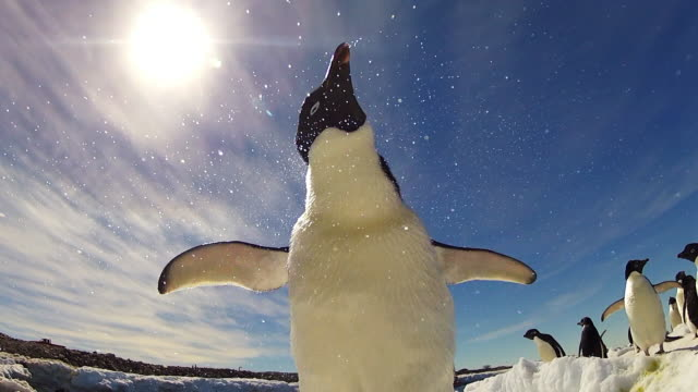 LA CU Adelie penguin with group shakes water from its plumage