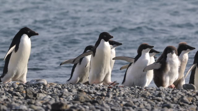 Adelie Penguins - adults and chicks walking along beach