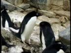 MS Adelie Penguins, Pygoscelis adeliae, on rocky ground, Antarctica