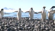 Adelie penguins (Pygoscelis Adeliae) rushing along beach (background slightly over-exposed). Antarctic Peninsula