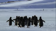 Adelie penguins waddle across snow field.