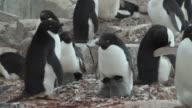 MS Adelie Penguins (Pygoscelis adeliae) with chicks on rocks / Petermann Island, Antarctic Peninsula, Antarctica