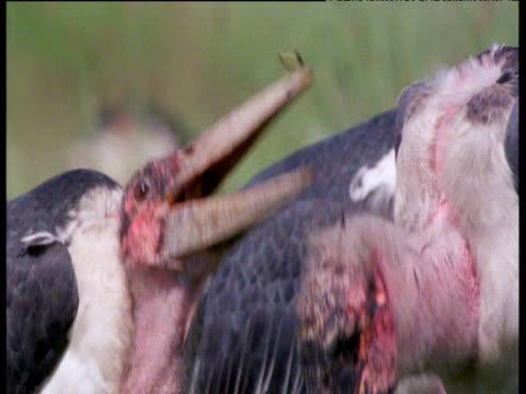Adjutant storks eats mopane caterpillars on savanna