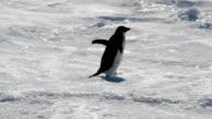 Adélie penguin moving alone across the ice shelf, Antarctica
