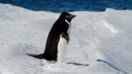 CU Adélie penguin on snow, Antarctica