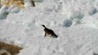 CU Adélie penguin sliding on cracking ice, Antarctica