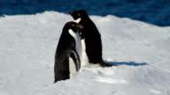 CU Adélie penguin sliding on the ice, Antarctica