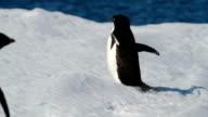 CU Adélie penguin walking away from camera, Antarctica