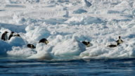 MS Adélie penguins moving along the ice next to the ocean, Antarctica