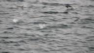 MS Adélie penguins swimming in a pack, Antarctica