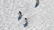 MS HA Adélie penguins walking on snow, Antarctica