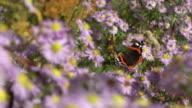 ZEITLUPE: Admiral-Schmetterling