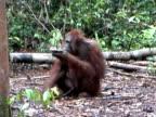 Adolescent Orangutan eating Bananas