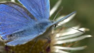 Adonis Blue butterfly flying off