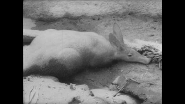 Adult aardvark in pen / baby aardvark standing in the grass / CU alligator / CU lynx / baby aardvark scrabbling on shoe of camera operator / CU...