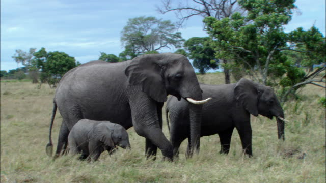 MS TS Adult African elephants and calf walking in grassy area / Kenya