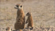 MS, Adult and baby meerkat standing in sand of desert, rear view, South Africa