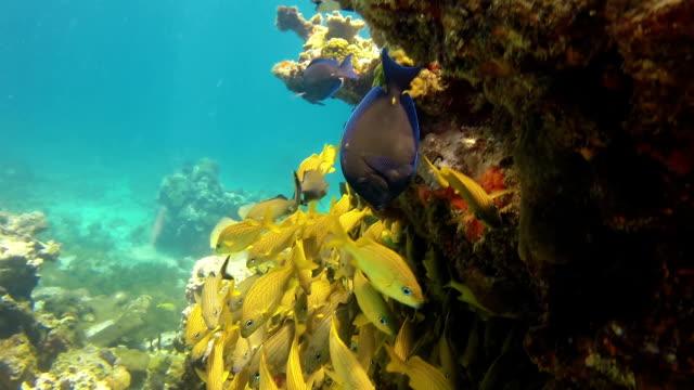 Adult Angelfish couple on a reef, caribbean sea.