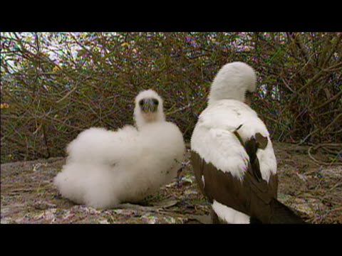 Adult booby grooming chick / Galapagos Islands