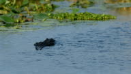 Adult bull alligator swimming away in wetland
