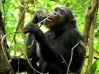 MS, Adult chimp (Pan troglodytes) eating vine strips on tree, Gombe Stream National Park, Tanzania