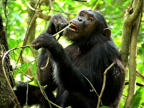MS, Adult chimp (Pan troglodytes) eating vine strips on tree, Gombe Stream National Park, Tanzania