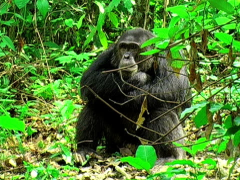 MS, ZI, CU, Adult chimp (Pan troglodytes) vocalizing in forest, Gombe Stream National Park, Tanzania