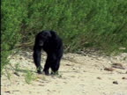 WS, Adult chimp (Pan troglodytes) walking on beach, Gombe Stream National Park, Tanzania