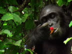 CU, Adult chimp (Pan troglodytes) with infant on back eating fruits on tree, Gombe Stream National Park, Tanzania
