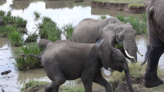 Adult elephants and their baby calfs, Maasai Mara National Reserve, Kenya