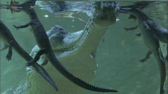 Adult Gharial rises to join infants at surface of water, Madras Crocodile Bank Trust, India Available in HD.