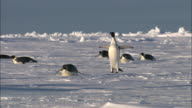 WS Adult penguins sliding on belly / Ekström Ice Shelf,Atka Iceport Emperor Penguin Colony,  Queen Maud land, Antarctica