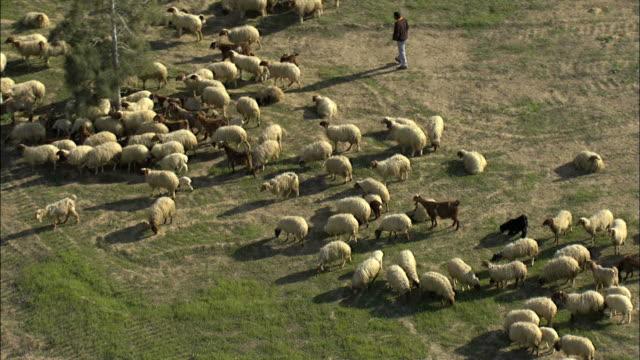 Aerial Bedouin boy herding sheep in Israel, Negev, Israel
