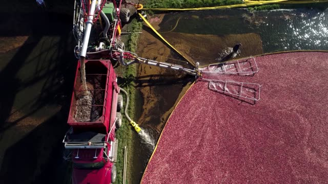 Aerial bird'seye view around cranberry bog during harvest as truck gathers cranberries at Cutler Cranberry in Camp Douglas Wisconsin on Wednesday Oct...