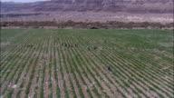 Aerial Date Palms Northern Judea Desert, Almog, Israel