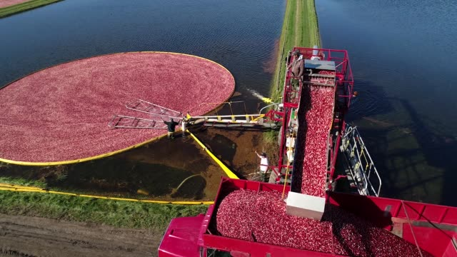 Aerial footage of cranberries going into collection truck during harvest at Cutler Cranberry in Camp Douglas Wisconsin on Wednesday Oct 18 2017...