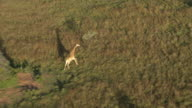 Aerial footage of giraffe running