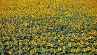 Aerial footage of sunflowers field in a row