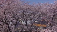 Aerial footages of cherry blossoms.