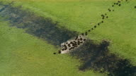 Aerial long shot herd of bison crossing shallow river in verdant field / Canada