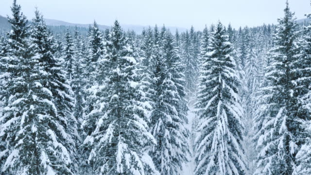 Aerial of a winter forest covered with snow