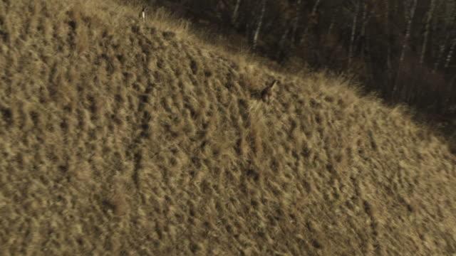Aerial of Gazelles running