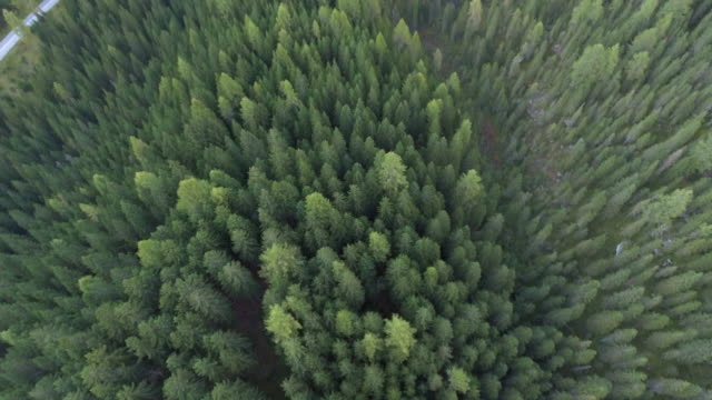 Aerial Over pine forest